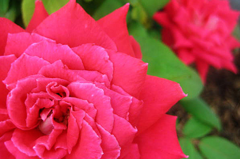 rose bush smaller