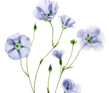 Klorane Flax Fibre