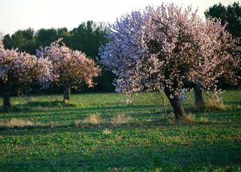 L'Occitane Almond